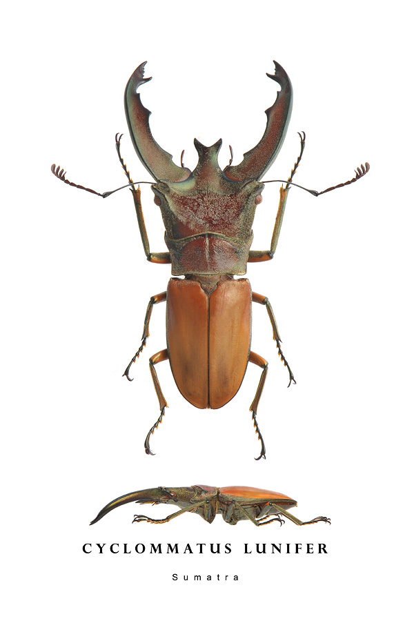 cyclommatus lunifer