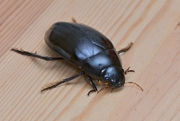 grote spinnende watertor (Hydrophilus piceus) 4-2014 8691